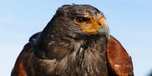 Kanariefåglarna som röt